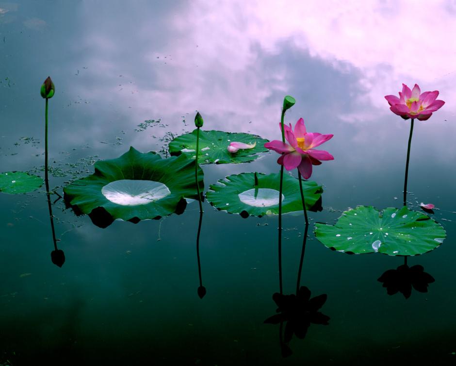 한송이 연꽃