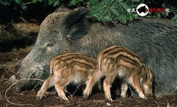 【构成】野生东北虎的食物链的常见食草动物