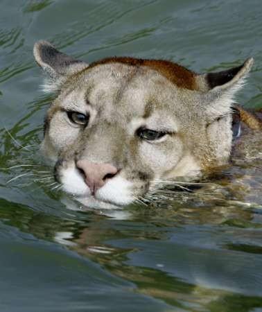 【图片欣赏】神圣飞虎评选的最佳野生美洲狮照片
